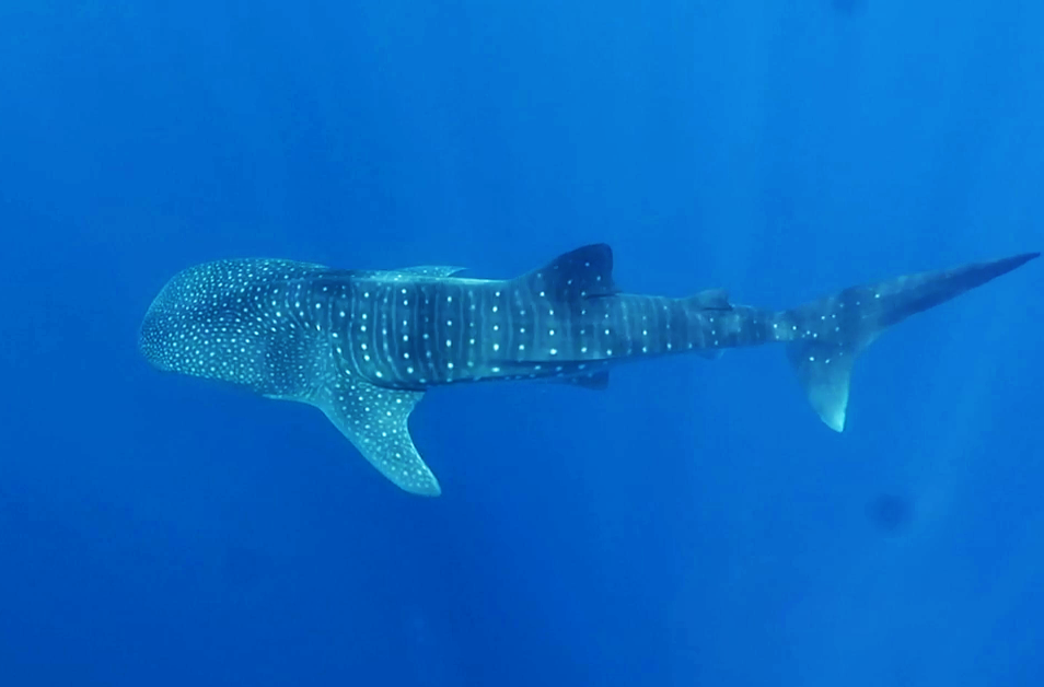 whale sharks Honduras Utila