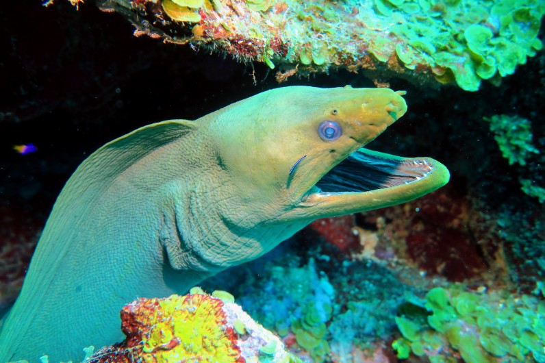 Green moray eel scuba diving Utila Honduras