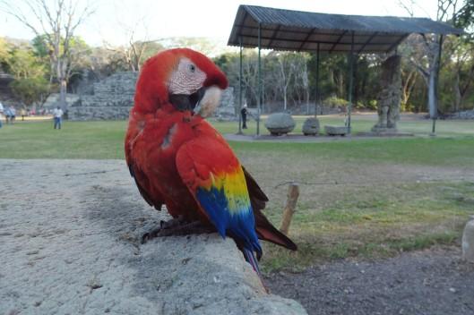 Parrot Copan Ruinas Mayan Archeological Site Honduras