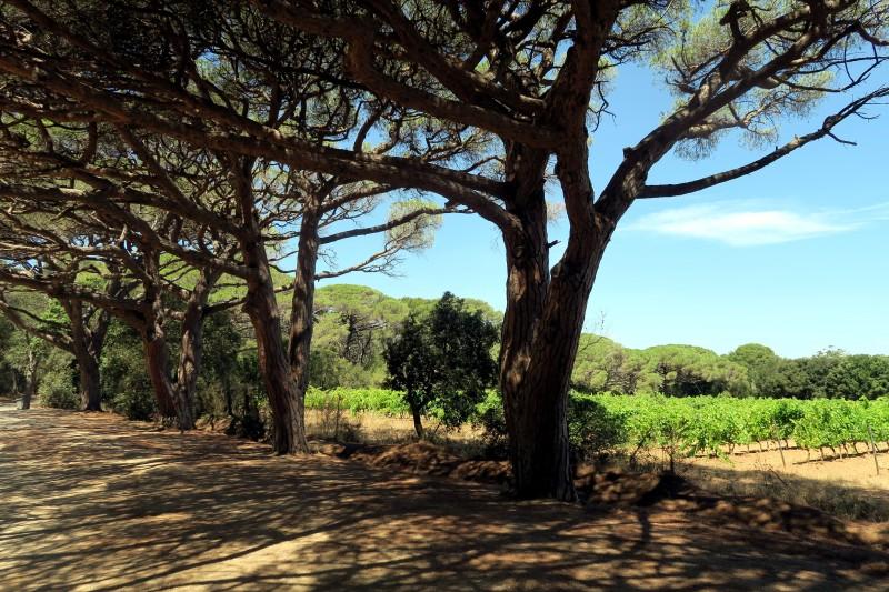 Pine trese Porquerolles Island French Riviera
