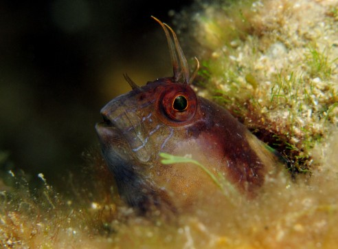 Blenny Scuba diving in Golfe Juan French Riviera