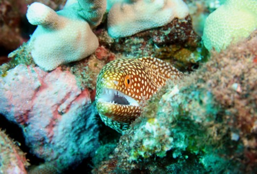 White-mouth moray eel Scuba diving in Kohala Coast Big Island Hawaii USA