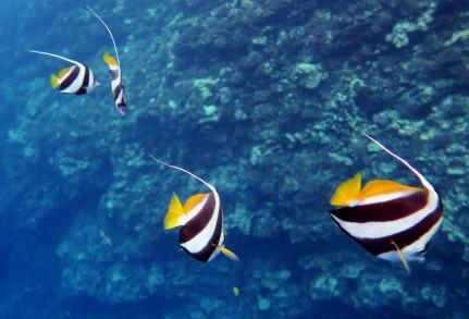 Pennant Coralfish - Free diving back wall of Molokini Crater Maui Hawaii USA