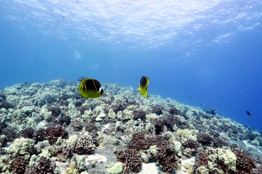 Racoon Butterflyfish - scuba diving in Middle Reef Molokini Crater Maui Hawaii USA