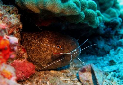 Moray eel and White-banded shrimp - scuba diving in White Rock Makena Maui Hawaii USA