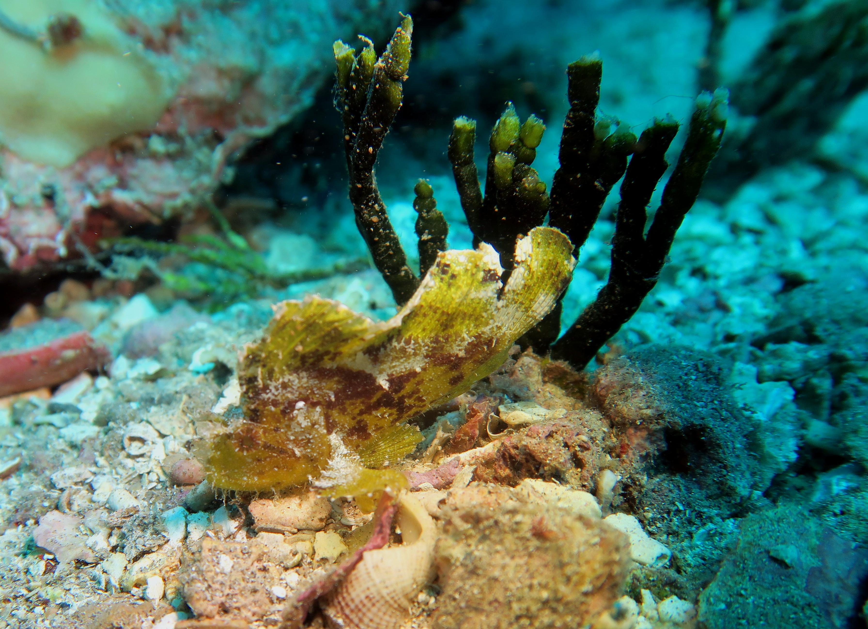 leaf scorpionfish - photo #49