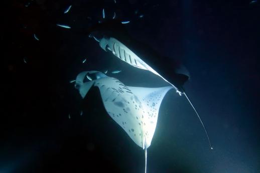Night dive with manta rays Kona Hawaii