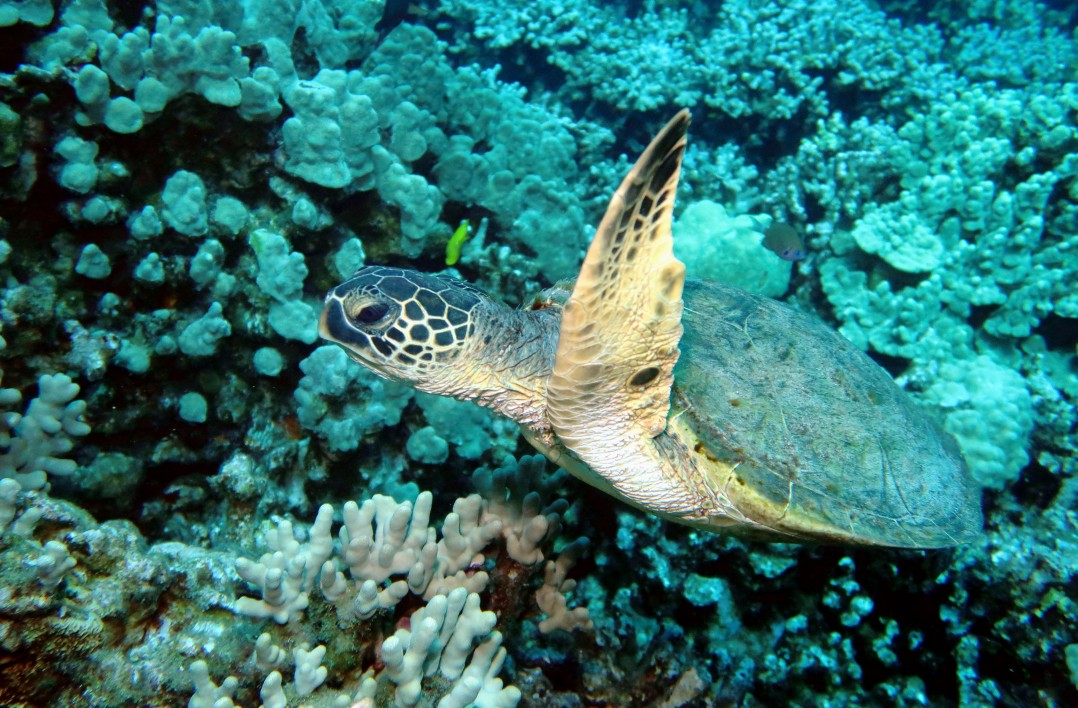Turtle Shore Diving Two Steps Refuge Scuba diving Big Island Hawaii