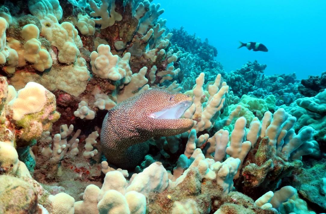 white-mouth moray eel Ulua Beach scuba diving shore diving Wailea Maui Hawaii