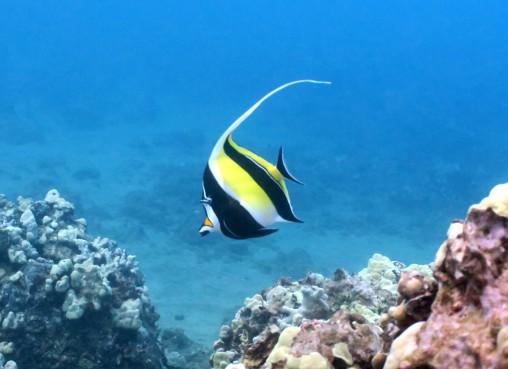 Pennant coralfish Ulua Beach scuba diving shore diving Wailea Maui Hawaii